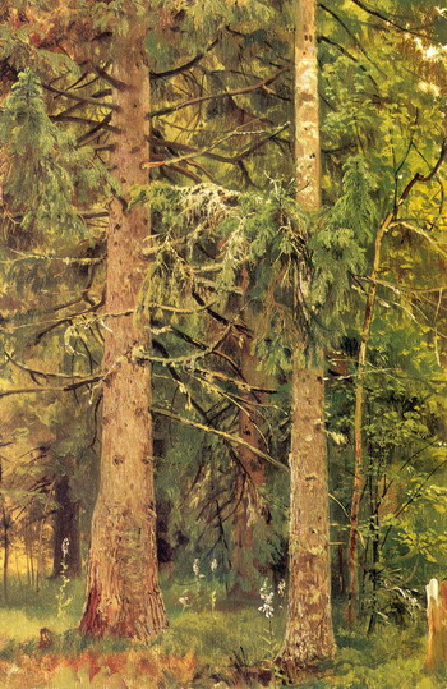 Еловый лес. Этюд.