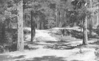 Сосновый лес. 1889.