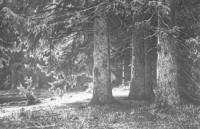 Ели в Шуваловском парке. 1886