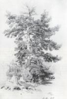 Сосна. 1889.